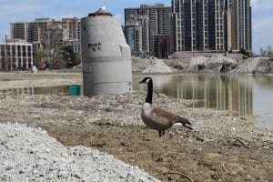 On a recent visit to the Six Points Interchange construction site, I noticed that a seagull has joined the resident Canada Goose in the enjoyment of the local habitat. Jaan Pill photo
