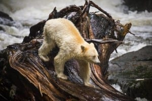 """The photo is from the Feb. 1, 2016 Globe and Mail article entitled:    The caption reads: """"A""""spirit bear"""" hunts for salmon near Klemtu, B.C., Aug. 29, 2015 (John Lehmann/The Globe and Mail)."""""""
