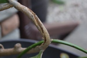 Detail from plant in previous photo, indicating where a stem has been slashed and a topic chemical has been applied.