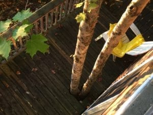 Trees growing through mid-level deck at steep-hillside cottage near Peterborough, Ontario. Jaan Pill photo